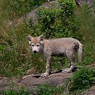 Timber wolf pup by Jim Cumming