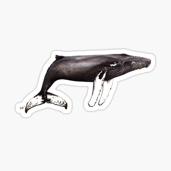 The famous Humpback whale Notch from Cabo Verde Sticker