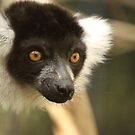 Ruff-furred Lemur by Steve Bullock