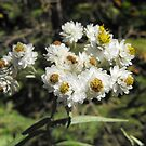 Pearly Everlasting- Anaphalis margaritacea by Tracy Wazny