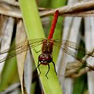 Red DragonFly : Smiling ? by AnnDixon