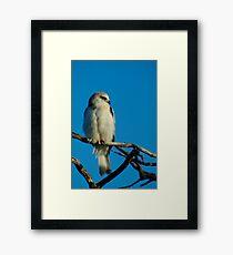 Juvinile Black-shouldered Kite Framed Print