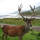 Scottish Stag by Teuchter