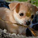 Chihuha Pup - Honey II by Chris Clark
