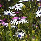 Daisies Under My Feet by Joy Watson