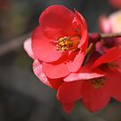 Spring Flowering Quince by Joy Watson