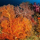 Raja Ampat soft corals by David Wachenfeld