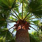 California Fan Palm Tree  by Sunil Bhardwaj