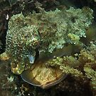 A Giant Australian Cuttlefish couple - Black Point, Whyalla by Dan Monceaux