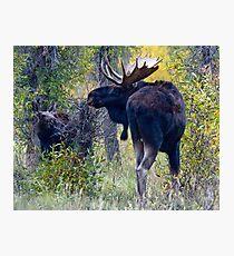Moose Bull & Calf, Fall Colors Photographic Print