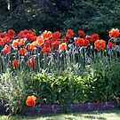 poppies too by TomNelson