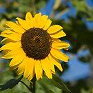 Sunflower by Marlene Hielema