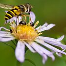 Macro bee 2 by Douglas Gaston IV