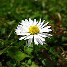 Daisy One by Yvonne Carsley