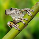Peron's Tree Frog by JulieM