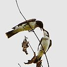 A Pair of Eastern Kingbirds Special Effects by DigitallyStill