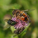 Nectar Shortage by Robert Abraham