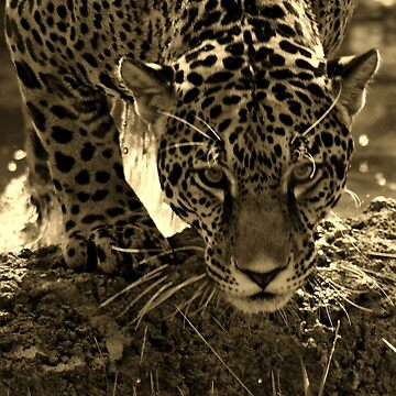 Jaguar in Sepia by SandyK