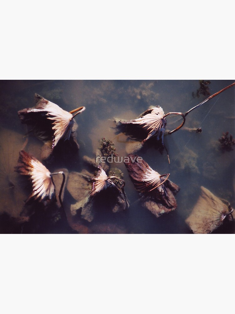 River Lotus by redwave