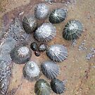 Limpets!.....Cornwall. by greenstone