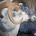 Thinhorn Sheep  by Yukondick