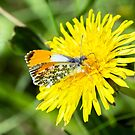 Orange-tip Butterfly by MikeSquires