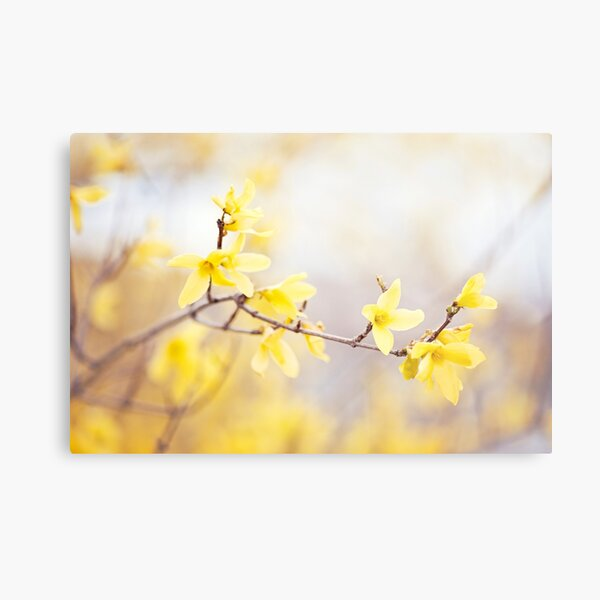 Yellow Forsythia Flower Photography, Floral Spring Nature Art Metal Print