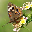 Buckeye butterfly.•*¨`*•  by Penny Odom