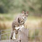 Feral Tabby Cat On The Fence by Chriss Pagani