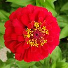 Red, RED Zinnia by rvjames