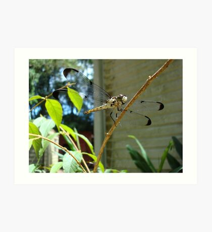 Great Blue Skimmer dragonfly (female) Art Print