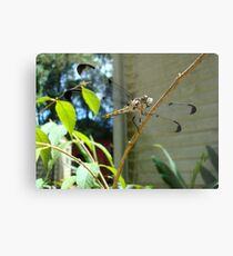 Great Blue Skimmer dragonfly (female) Metal Print