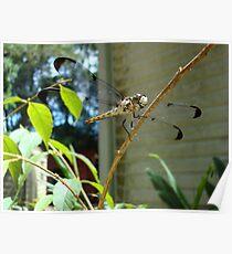 Great Blue Skimmer dragonfly (female) Poster