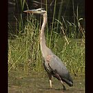 Chippewa Flowage Great Blue Heron by Thomas Murphy