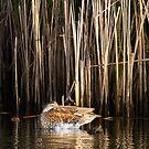 Sleeping Duck in the Reeds by DenverCool