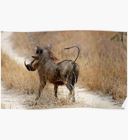 ATTITUDES OF THE WARTHOG  ! -( Phacochoerus aethiopicus) Poster