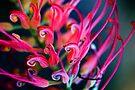 Rainbow Grevillea by Renee Hubbard Fine Art Photography