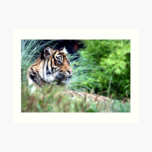 Tiger in the Grass Art Print