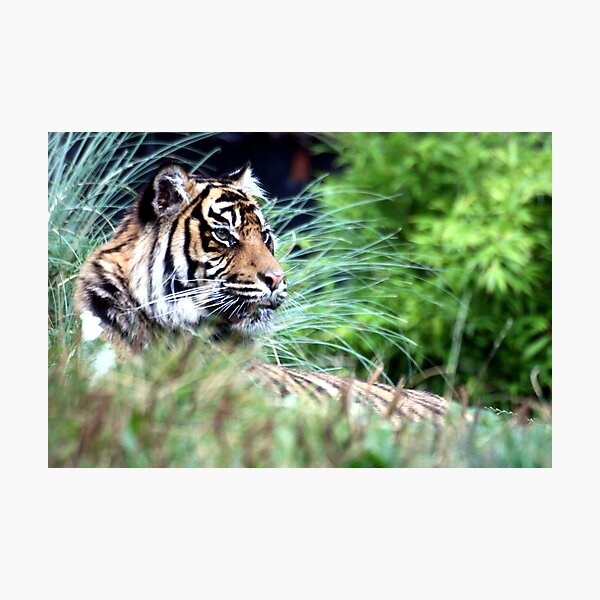 Tiger in the Grass Photographic Print