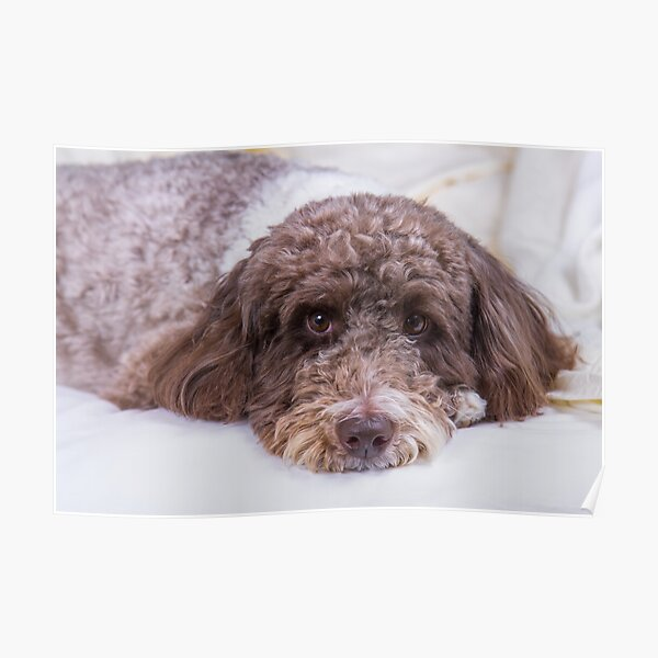 Here's Looking At You: Labradoodle Poster