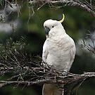 Sulphur Crested Cockatoo. Cedar Creek, Queensland, Australia. by Ralph de Zilva