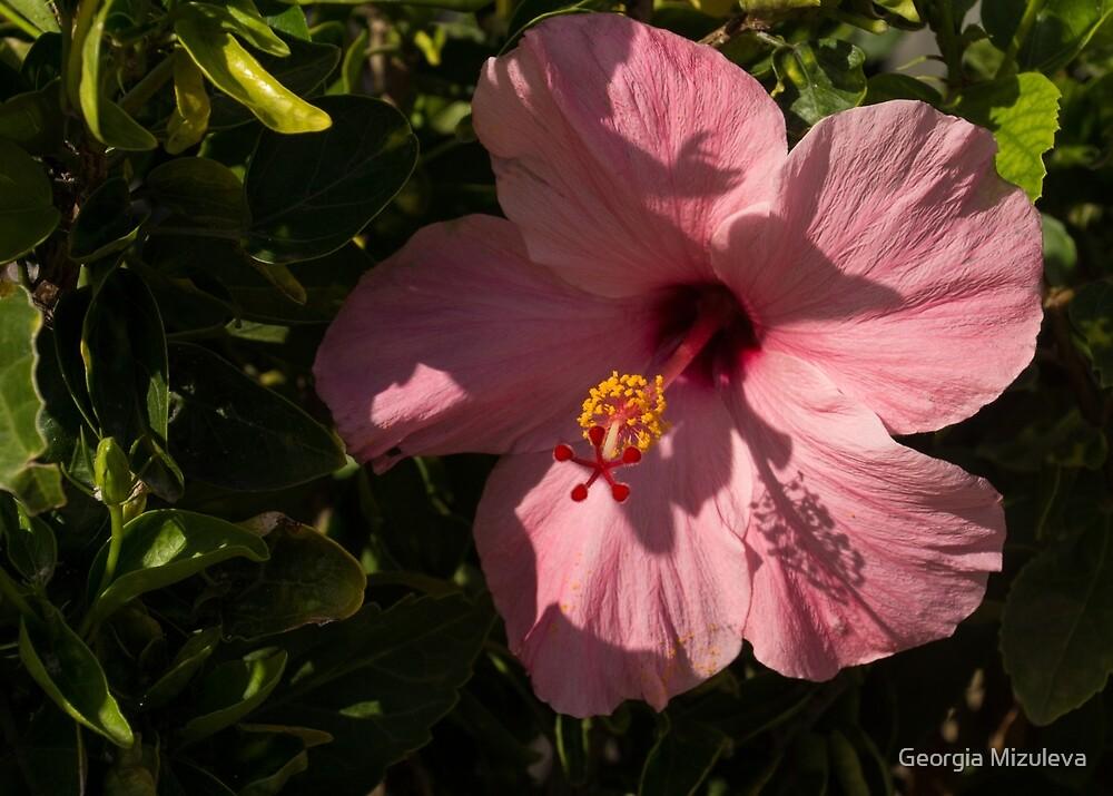 Crisp Pink Hibiscus Shadows by Georgia Mizuleva