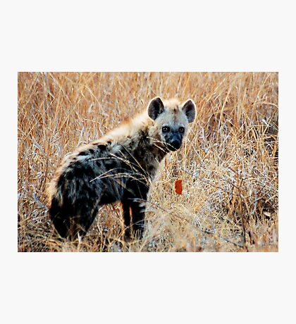 THE SPOTTED HYAENA - Powerful and treacherous... Photographic Print