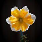 Narcissus Hybrid by Adam Bykowski