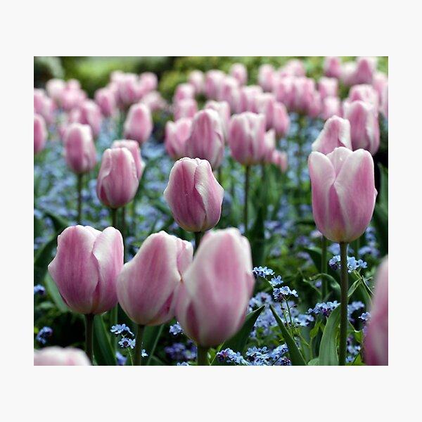 Pink Tulips at Queen Elizabeth Park Photographic Print