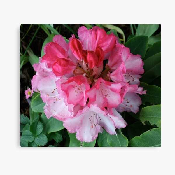 Pink Rhododendrons Adorning Vancouver Canvas Print