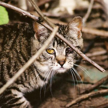 Hidden Cat Young Feral Tom by Pagani