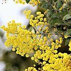 Australian Acacia ( Wattle ) by Lorraine Wilson
