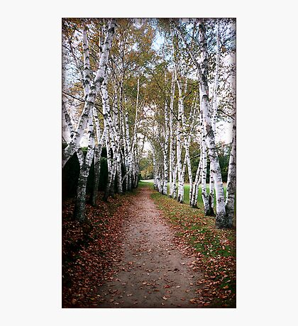 Birch Walk Photographic Print