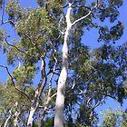 Eucalyptus by lezvee